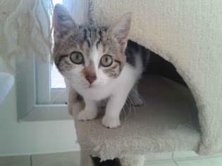 adoption-chaton