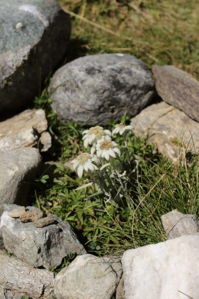 edelweiss-fleurs-montagne